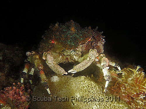 Decorator Crab (Cyclocoeloma tuberculata)