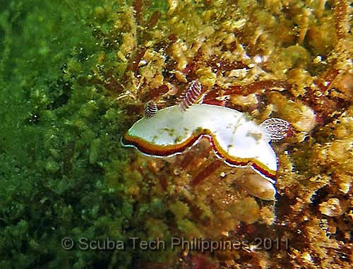 Nudibranch - Chromodoris preciosa