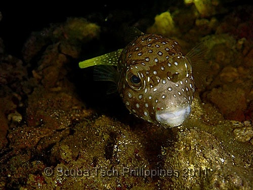 White Spotted Puffer (Arothron hispidus)