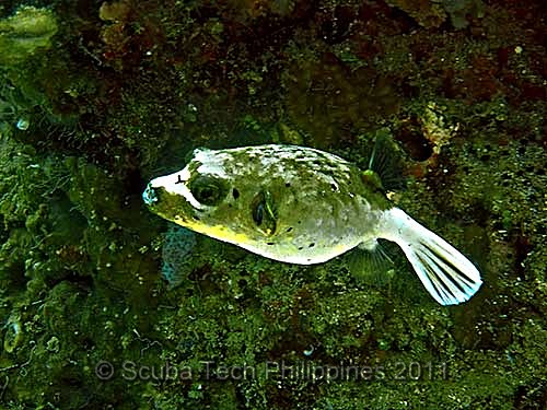 Seal Face Pufferfish (Arothron nigropunctatus)