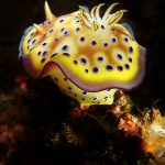 Nudibranch Philippines Anilao Photography