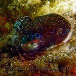 Bobtail Squid (Euprymna berryi)